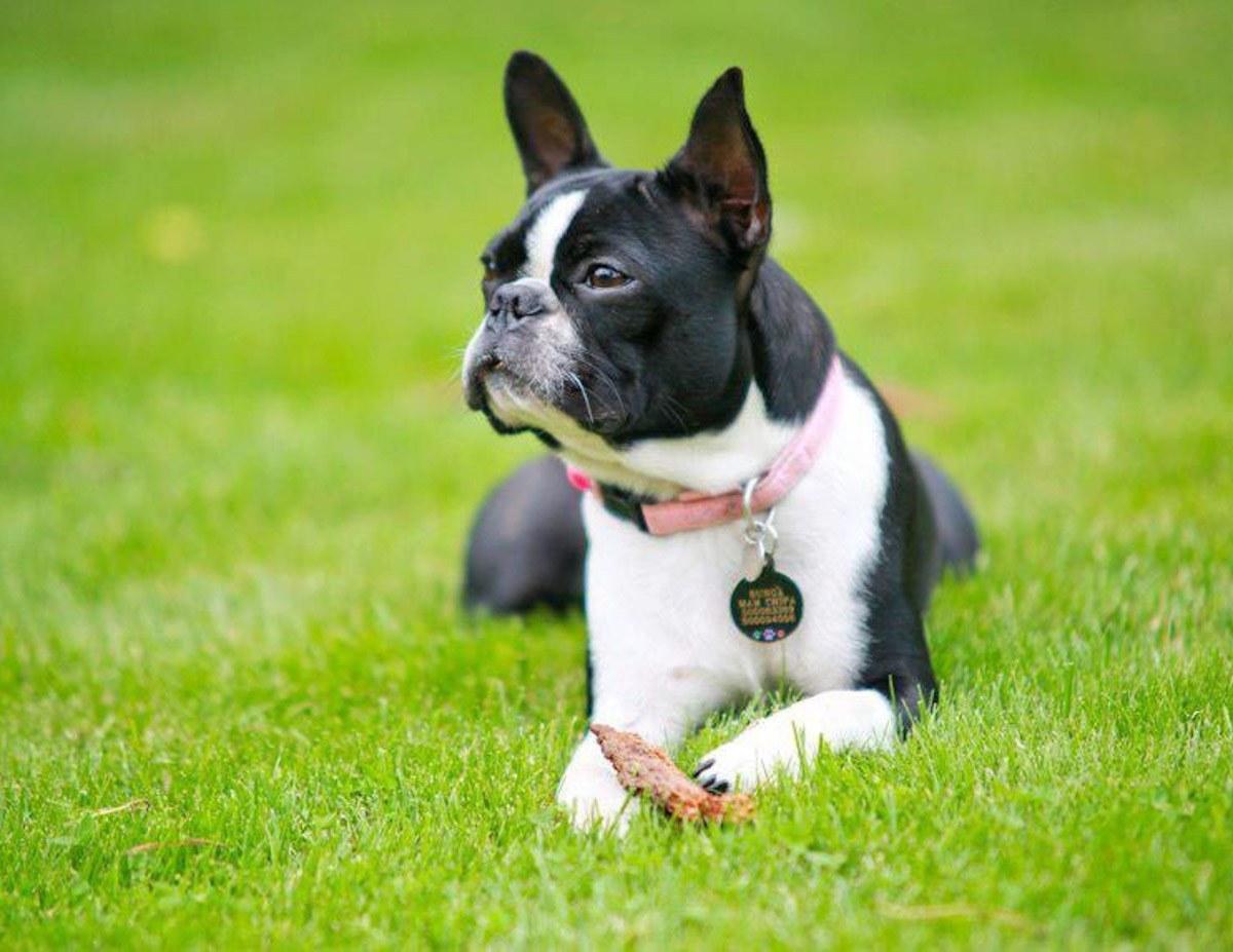 Suczka rasy boston terrier - Bunga von Bercek
