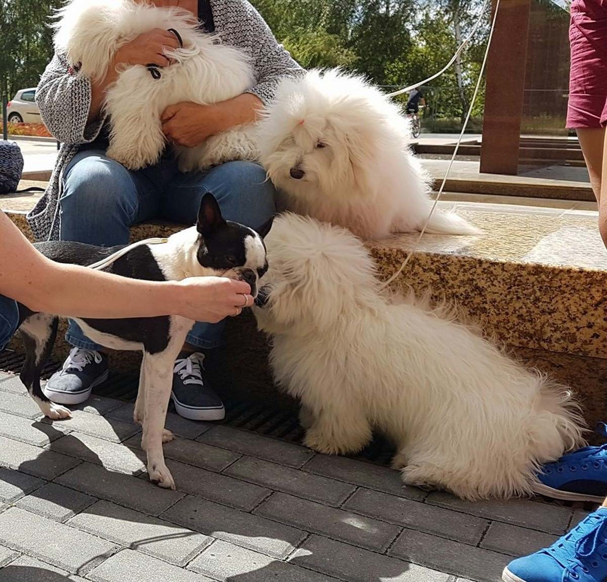 Peppa - rasowa suczka rasy boston terrier