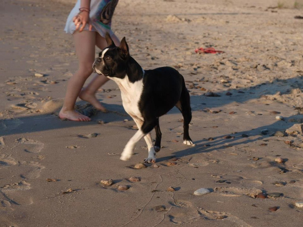 Bunga von Bercek - rasowy boston terrier