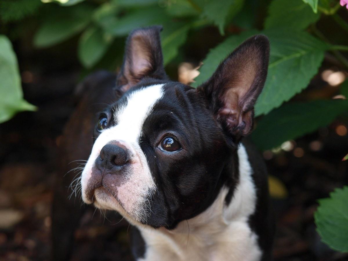 Boston terrier ENYA CARRIBEAN BLUE LADY