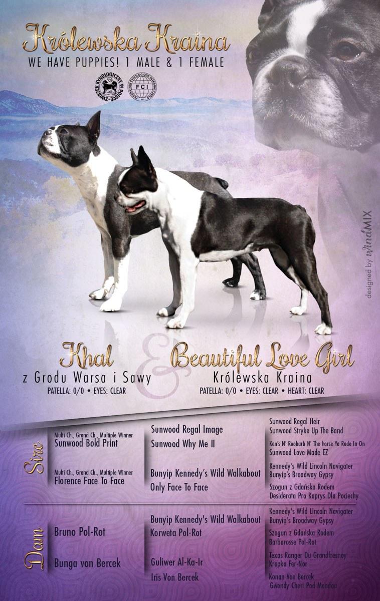 Psy boston terrier z hodowli Królewska Kraina