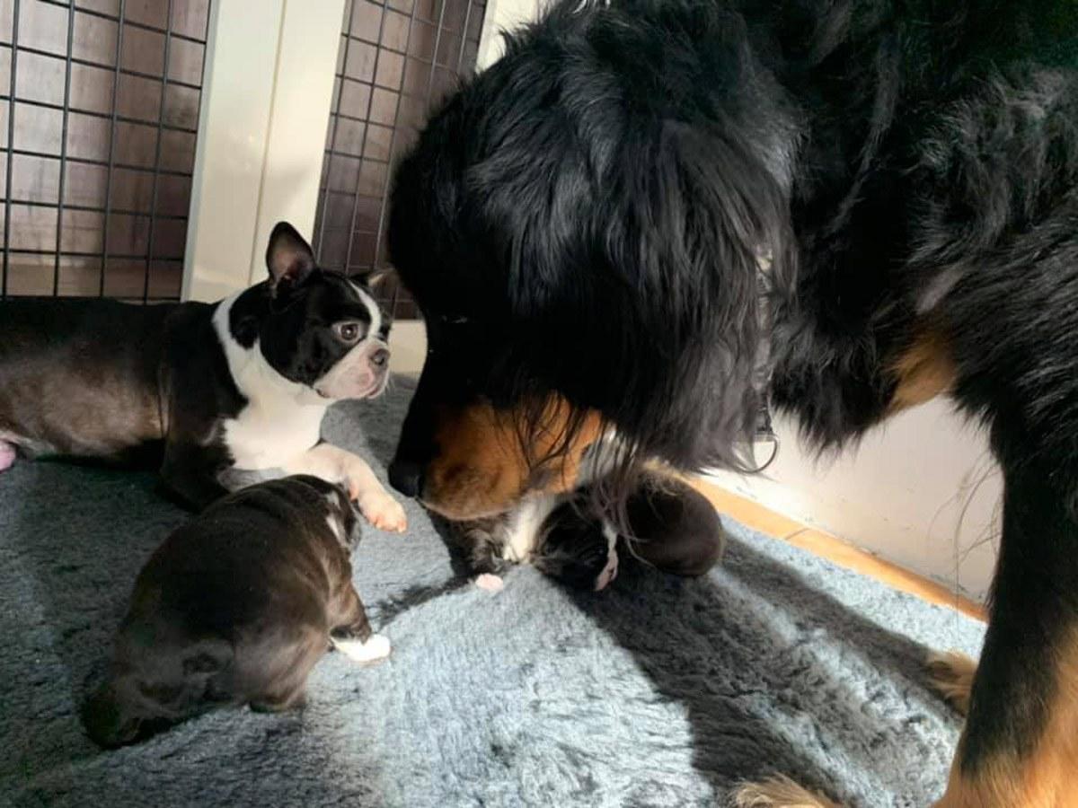 Szczenięta boston terrier hodowla Królewska Kraina